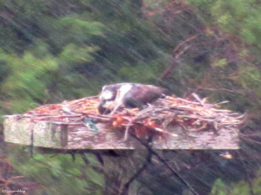 mama protecting the chick in rain storm UD3