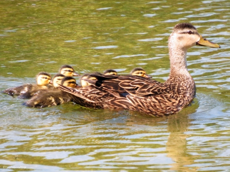mottled duck with ducklings Sand Key Park Clearwater Florida