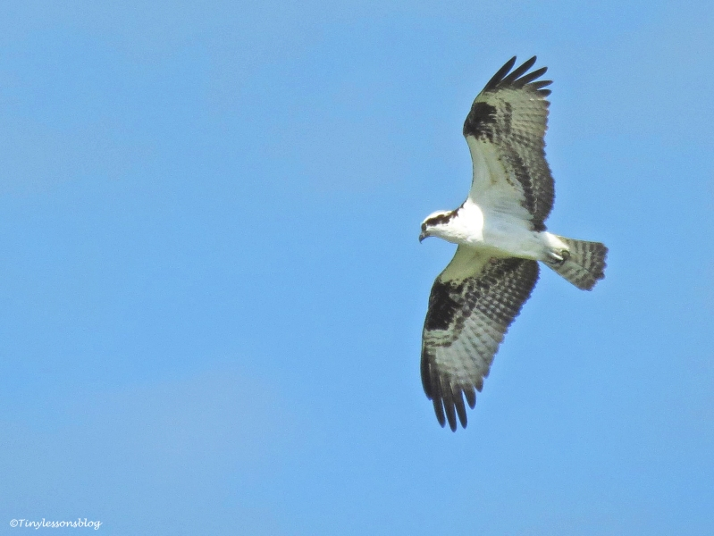 Osprey Steve over the marsh
