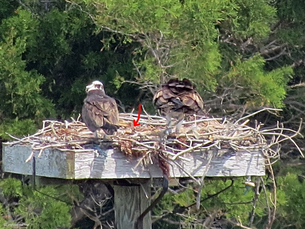 A tiny baby Osprey between Papa and Mama.