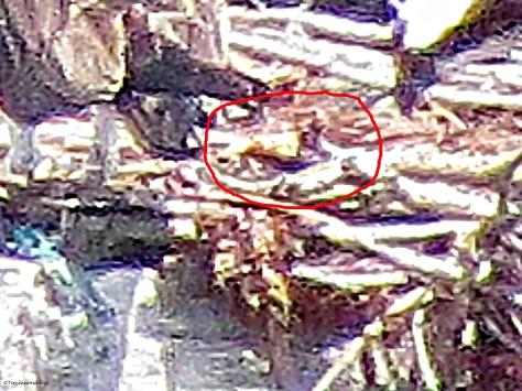 osprey chick enlarged