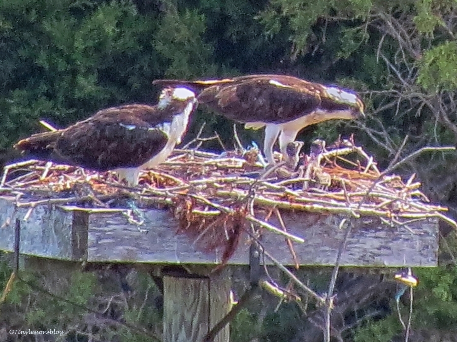 osprey chicks sand key park clearwater florida