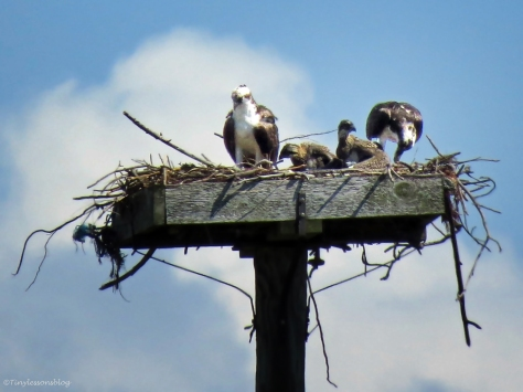 Osprey family Sand Key Park Clearwater Florida