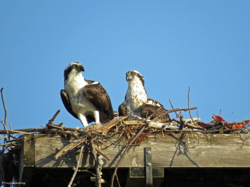 ...and so are Papa and Mama Osprey. They enjoy the quiet of the first rays...