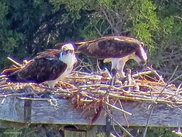 Papa and Mama osprey with two chicks Sand Key Park Clearwater Florida