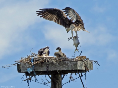 male osprey brings in a big fish Sand Key Park Clearwater Florida
