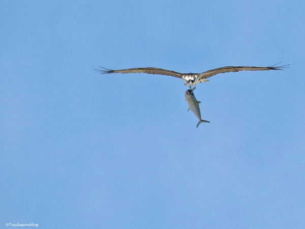 Papa Osprey comes in with a lunch bag of fresh fish, flies over the nest to show it to Mama...