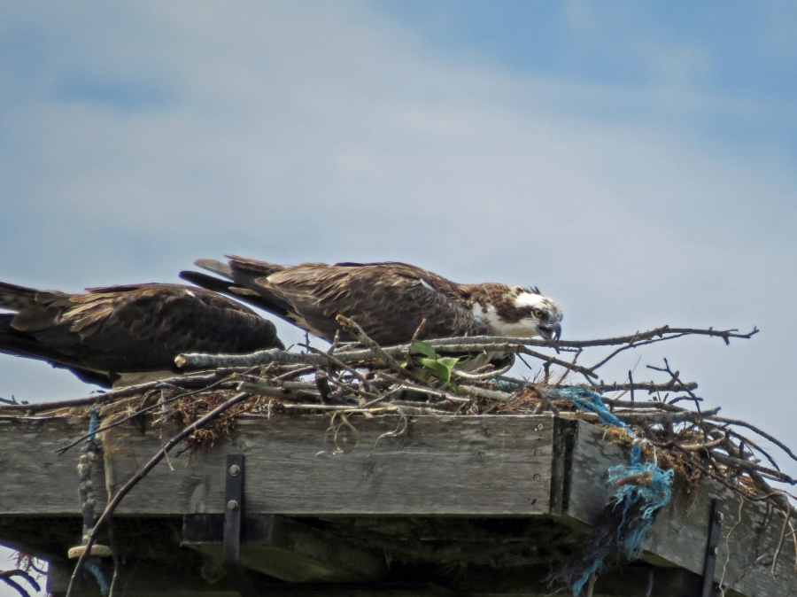 male osprey brought nest reinforcements Sand Key Park Clearwater Florida