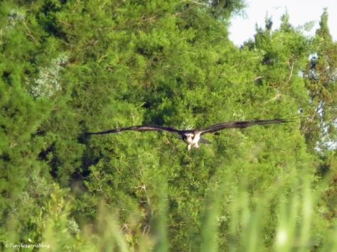 osprey flies low sand key park clearwater florida