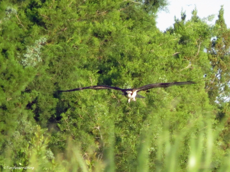osprey flies low sand key park clearwater florida
