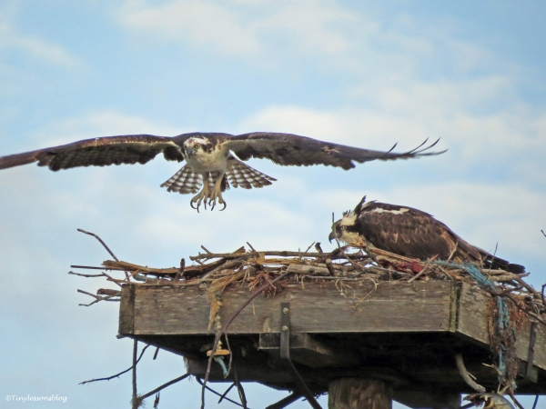 male osprey leaves for an early morning fishing trip Sand Key Park Clearwater Florida