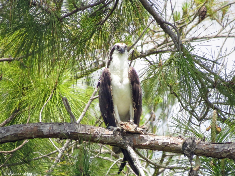 osprey with fish taking a nap sand key park clearwater florida