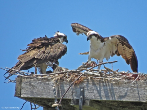 male osprey collects the rest of the fish in Sand Key Park Clearwater Florida