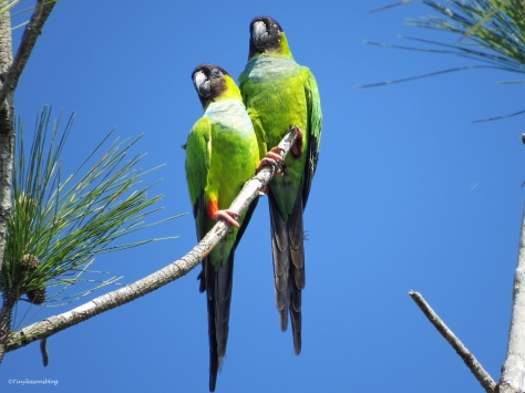 parakeets sand key park clearwater florida
