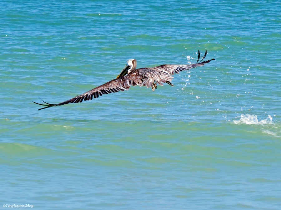 A brown pelican takes off Sand Key Beach Clearwater Florida