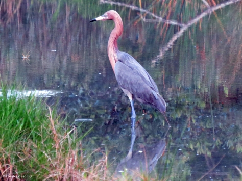 a reddish egret in Sand Key Park Clearwater Florida