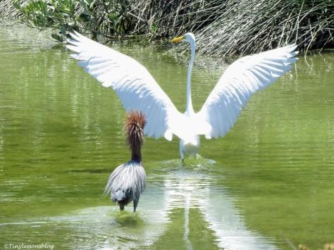 Reddish Egret chases a Great Egret Sand Key Park Clearwater Florida