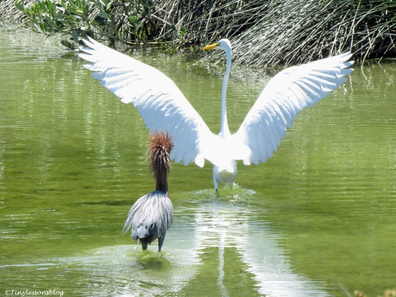Reddish Egret chases a Great Egret Sand Key Park Clearwater Florida