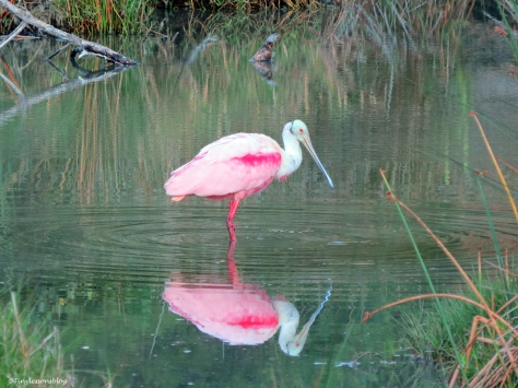 a roseate spoonbill in Sand Key Park Clearwater Florida