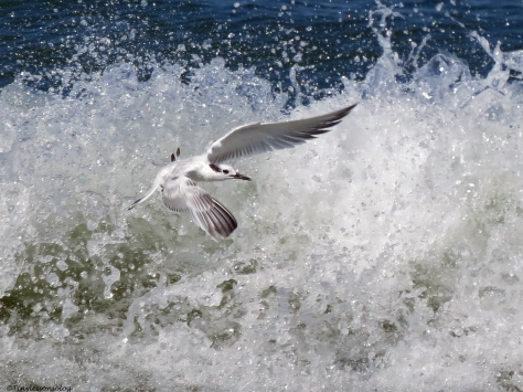 sandwich tern flying in the surf Sand Key Beach Clearwater Florida