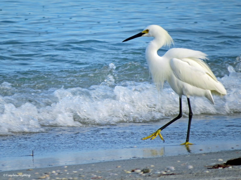 The Snowy Egret on Sand Key Beach Clearwater Florida
