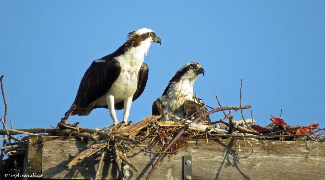 osprey couple sand key park clearwater Florida