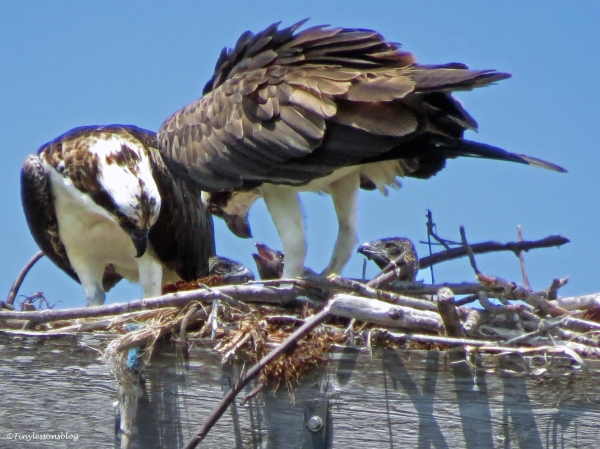 three osprey chicks in Sand Key Park Clearwater Florida