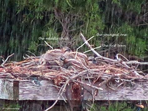 three osprey chicks huddling together in the rain UD3