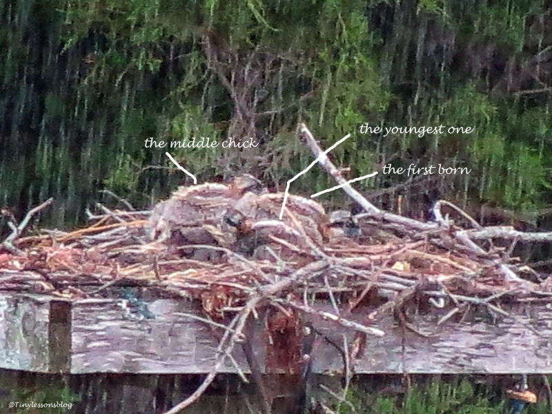three osprey chicks huddling together in the rain UD3