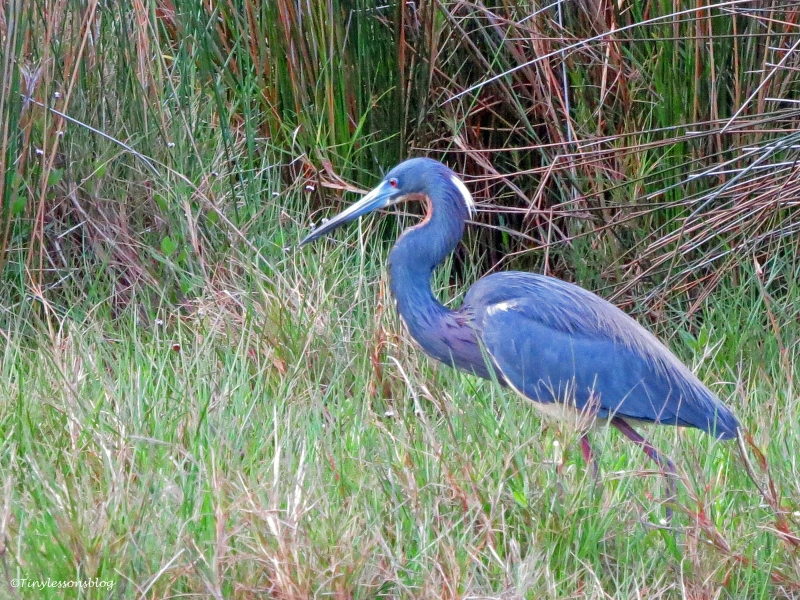 tricolored heron at sunrise Sand Key Park Clearwater Florida