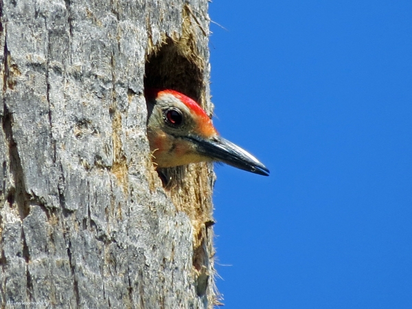 red-bellied woodpecker in his nest sand key park clearwater florida