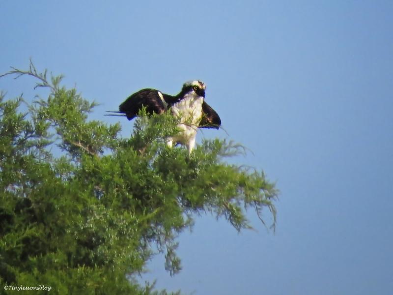 osprey Sand key Park Clearwater Florida