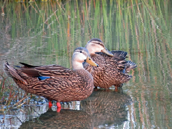mottled duck couple at sunrise Sand key Park Clearwater Florida