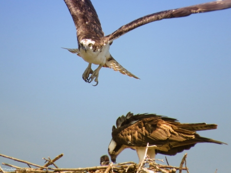 male oprey returns home at feeding time Sand key Park Clearwater Florida