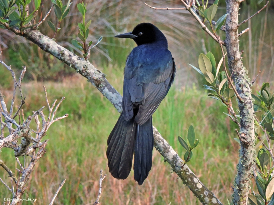 boat-tailed grackle Sand Key Park Clearwater Florida