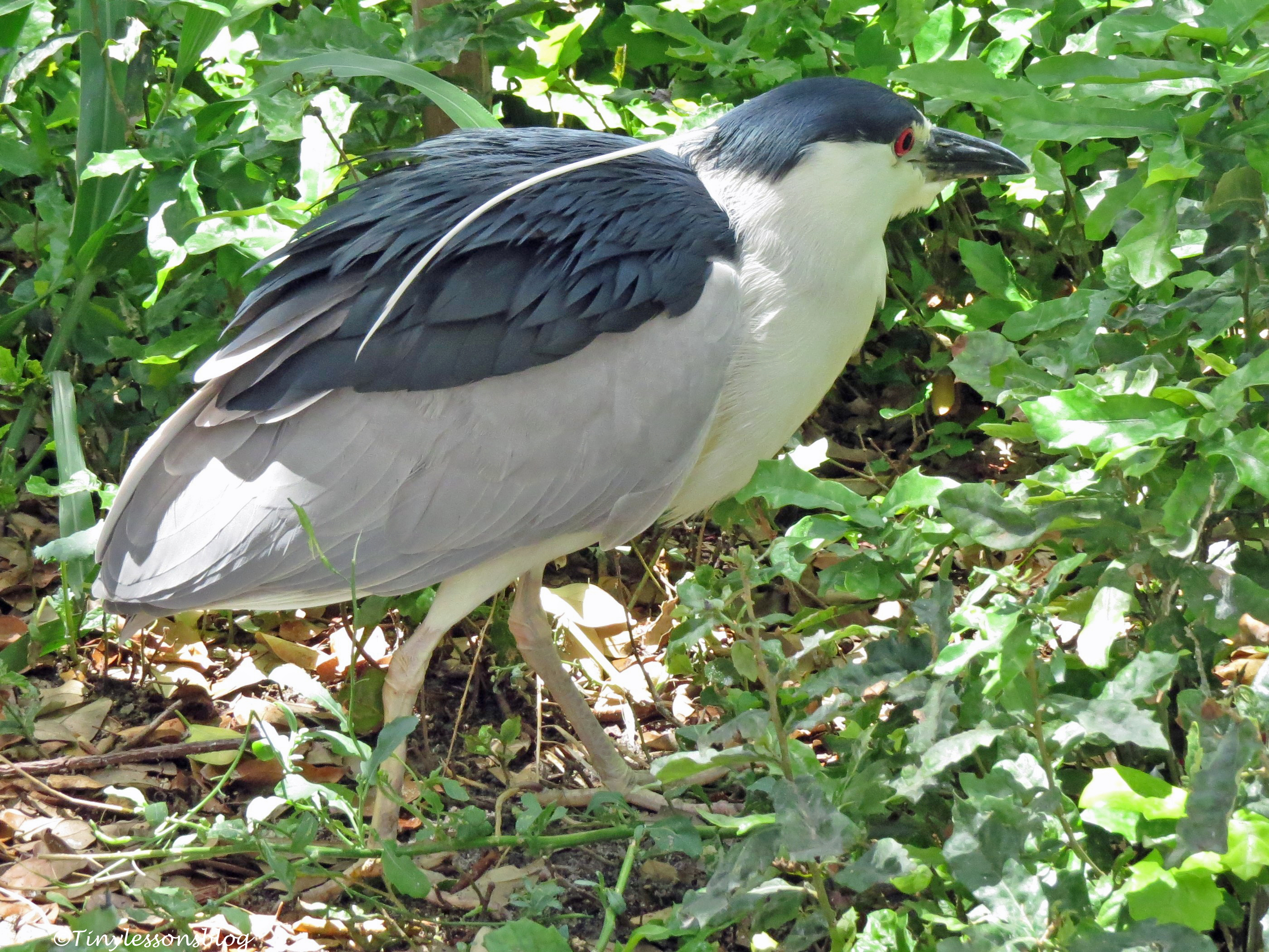 a black-crowned night heron Florida