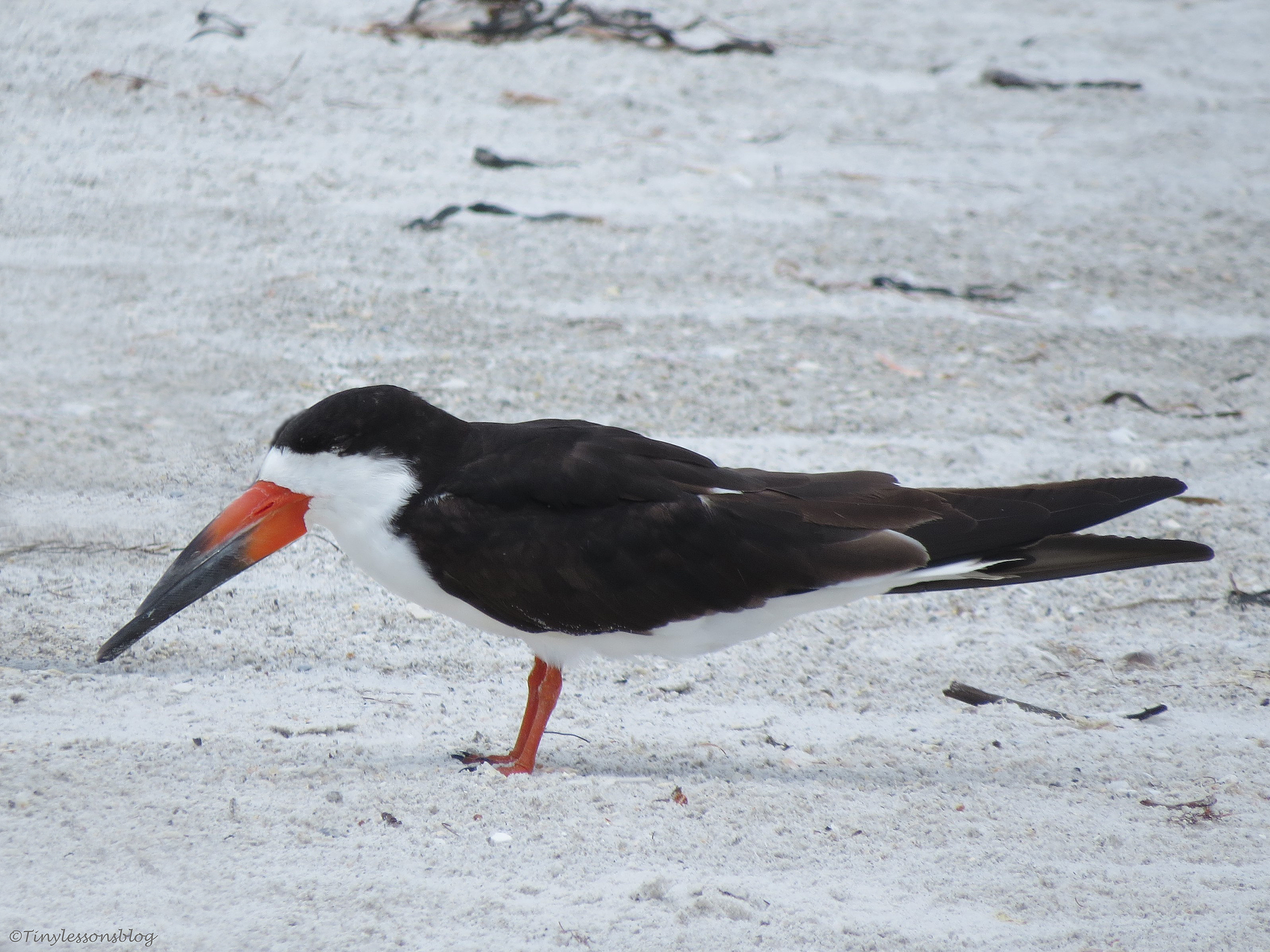 a black skimmer on the beach, Indian Rocks , Florida