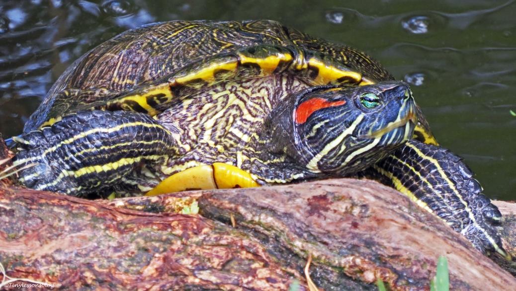 a large turtle at McGough Nature park 16x9