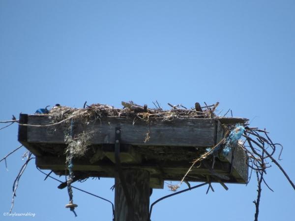 osprey nest Sand Key Park Clearwater Florida