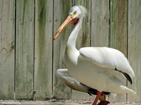 an injured white pelican