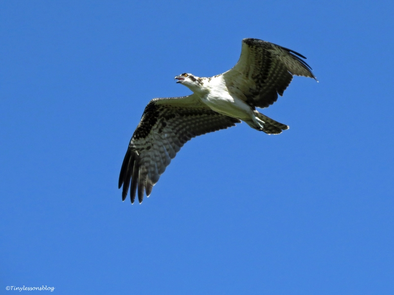 osprey fledgling's first flight Sand key Park Clearwater Florida