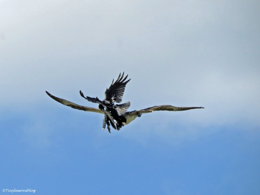 osprey fledgling is attacked by a grackle Sand key Park Clearwater Florida