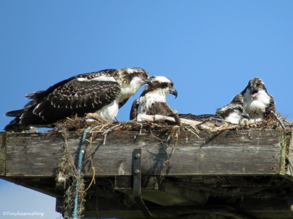 dialogue between osprey chicks Sand key Park Clearwater Florida