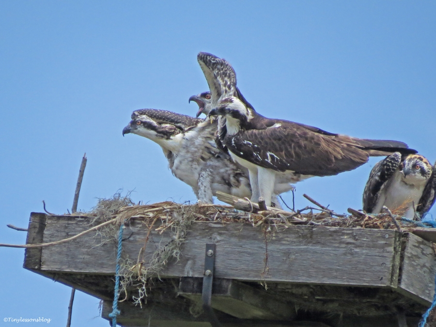 oldest osprey chick attacks the youngest chick Sand Key Park Clearwater Florida