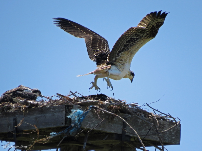 osprey chick practices flying Sand Key Park Clearwater Florida