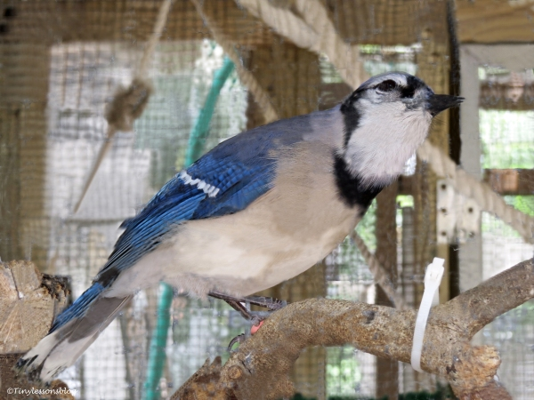 blue jay raised by humans and abandoned