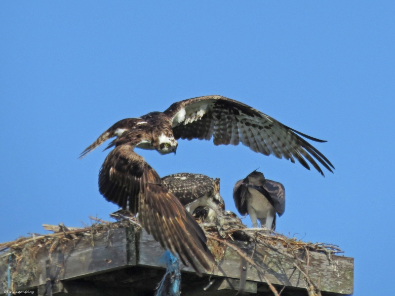 male osprey leaves after delivering breakfast Sand Key Park Clearwater Florida