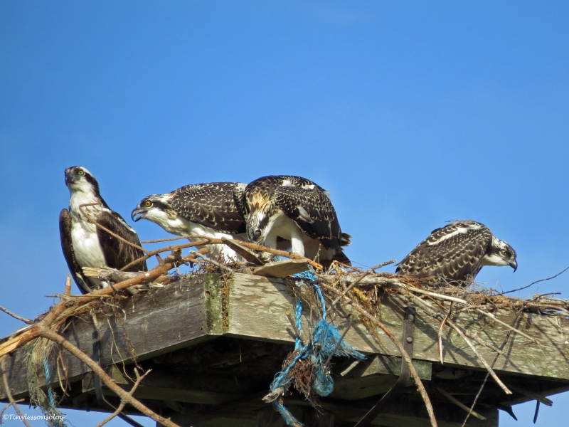 dinner time in osprey family Sand key Park Clearwater Florida