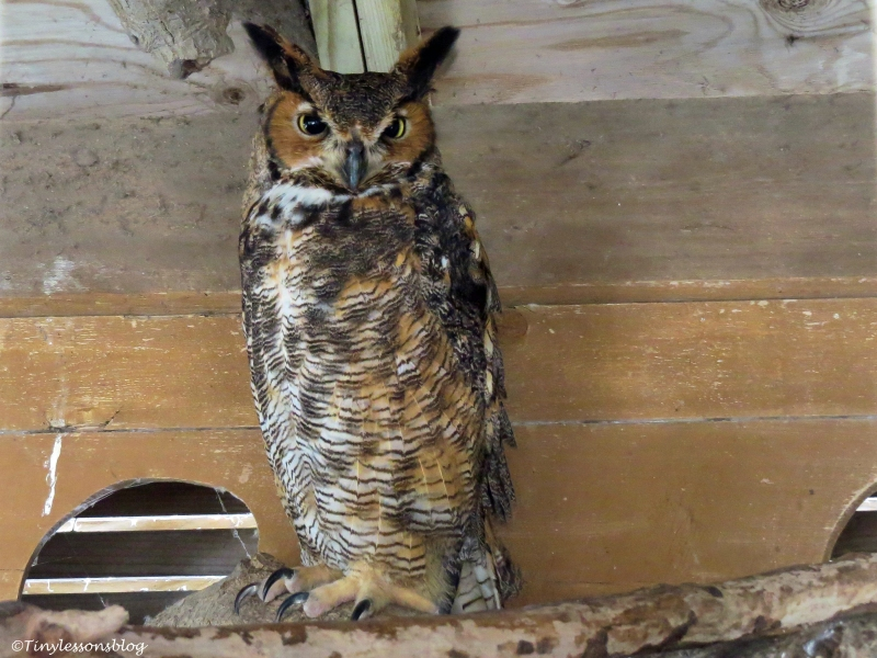 an injured great-horned owl