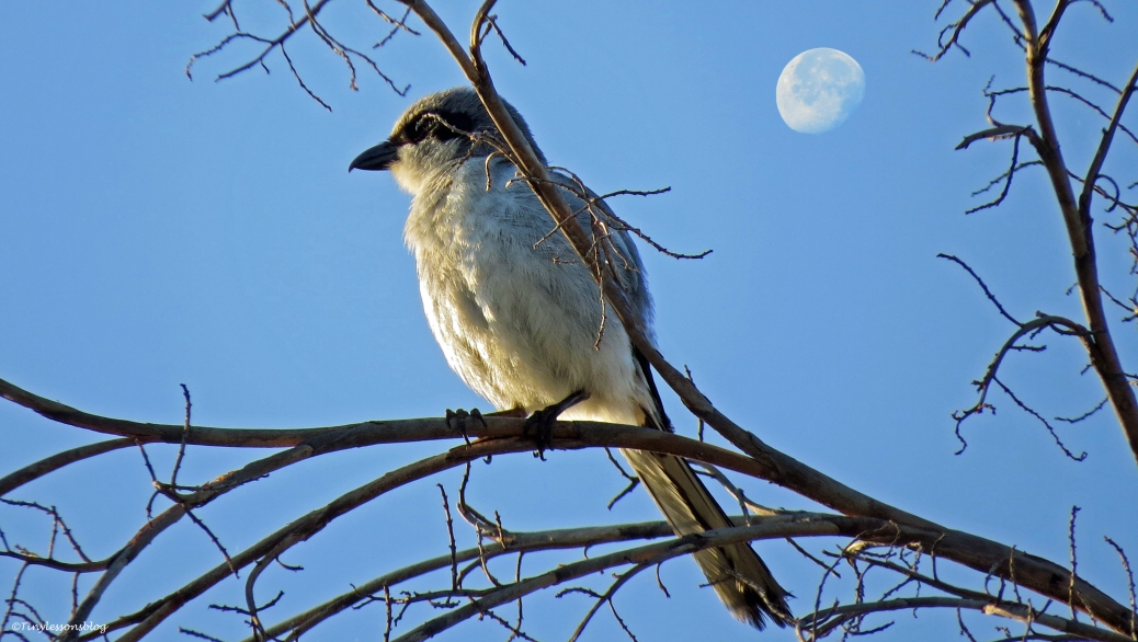 little bird and the moon at sunrise